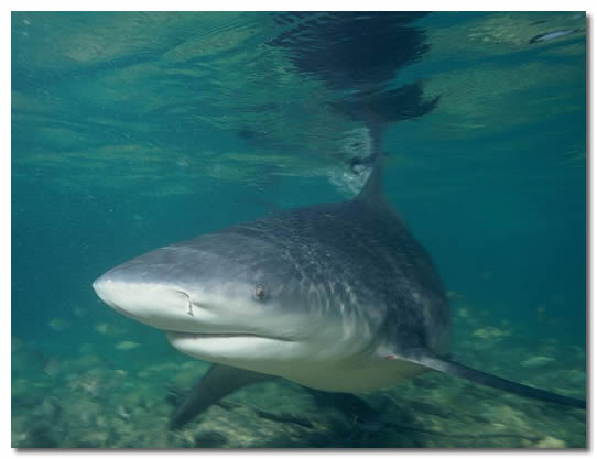 Bull Shark In Shallow Waters