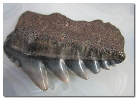 Cow Shark Teeth Cluster