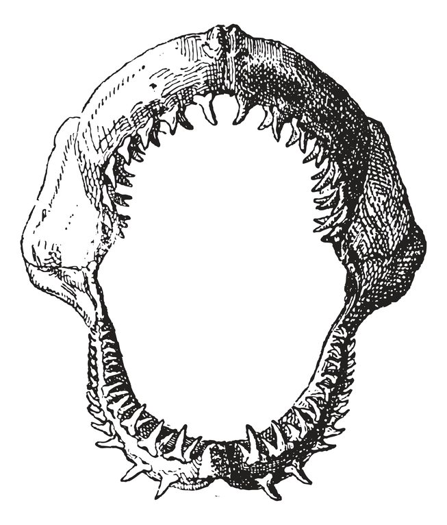 Shark Jaw With Teeth